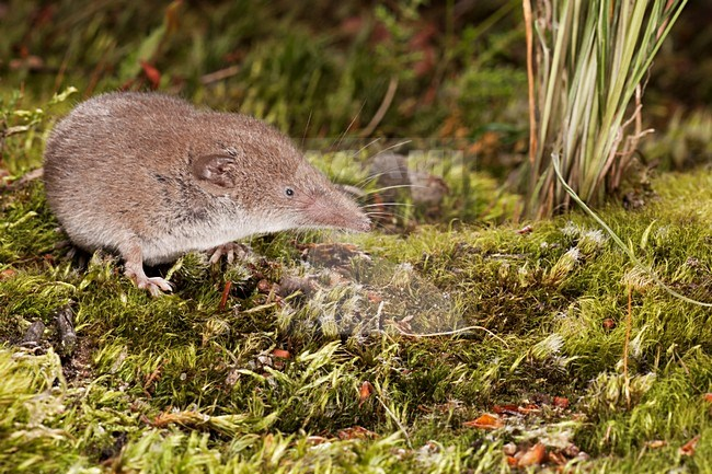 Image result for greater white toothed shrew