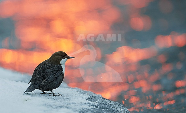 Wintering White-throated Dipper (Cinclus cinclus), on a cold morning, in northern Finland. Standing on ice along a small river with sun light reflecting on the water. stock-image by Agami/Markus Varesvuo,