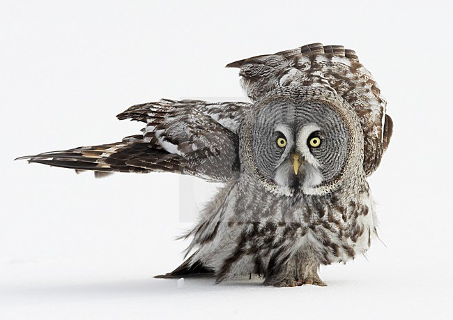 Laplanduil jagend boven besneeuwde grond; Great Grey Owl hunting above ground with snow stock-image by Agami/Markus Varesvuo,