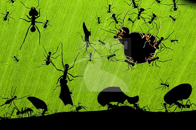Leafcutter Ants at night. A marvel of ants, by Bence Mate. Winning image of the Wildlife Photographer of the Year in 2010. stock-image by Agami/Bence Mate,